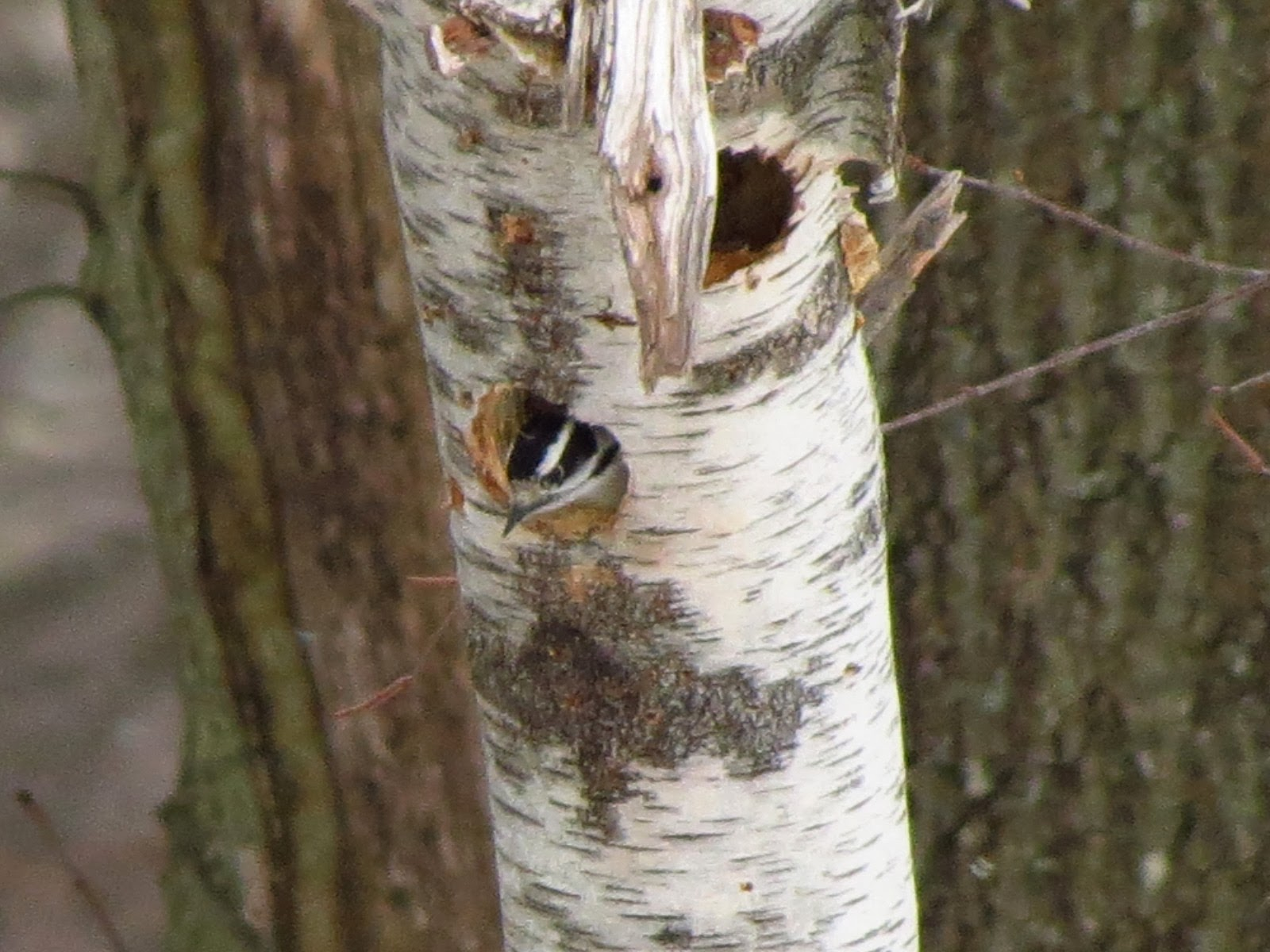 downy female gets comfortable in birch snag