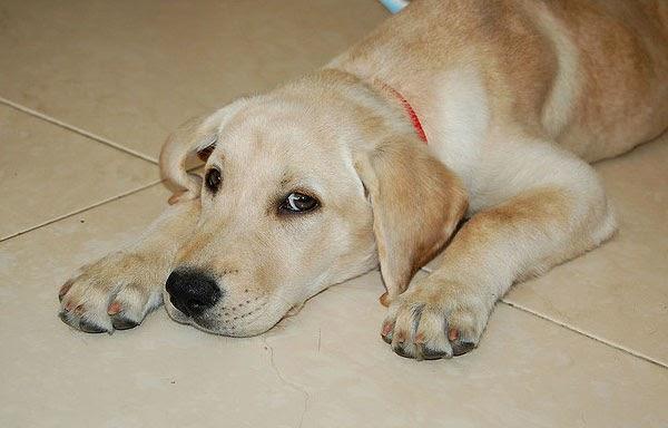 Lista de nombres para perros labradores Macho o Hembra | Educa a ...