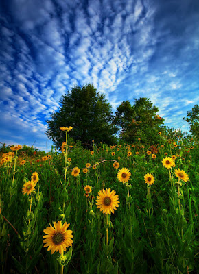 Alcanzando el sol - Campo de girasoles - Reaching for the Sun by Todd Tobey