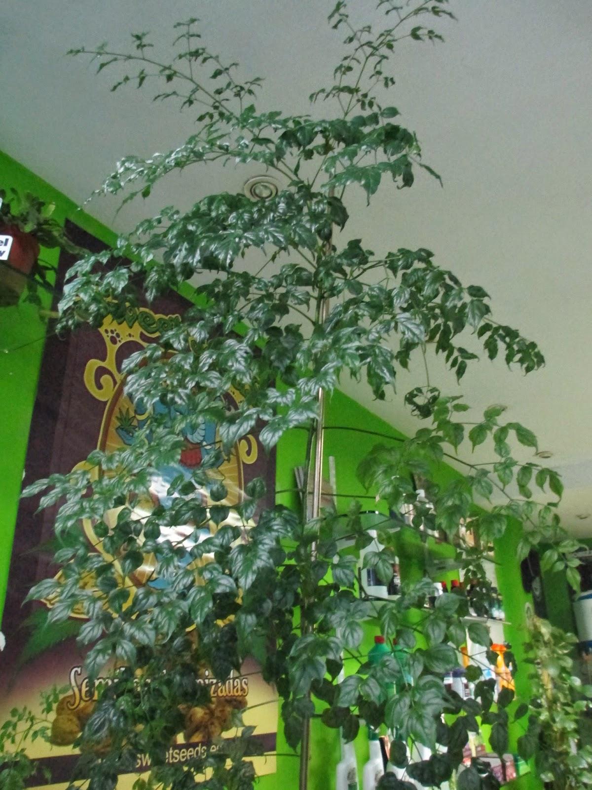 La mar de verde radermachera sinica o arbol serpiente for Arboles crecimiento rapido hoja perenne
