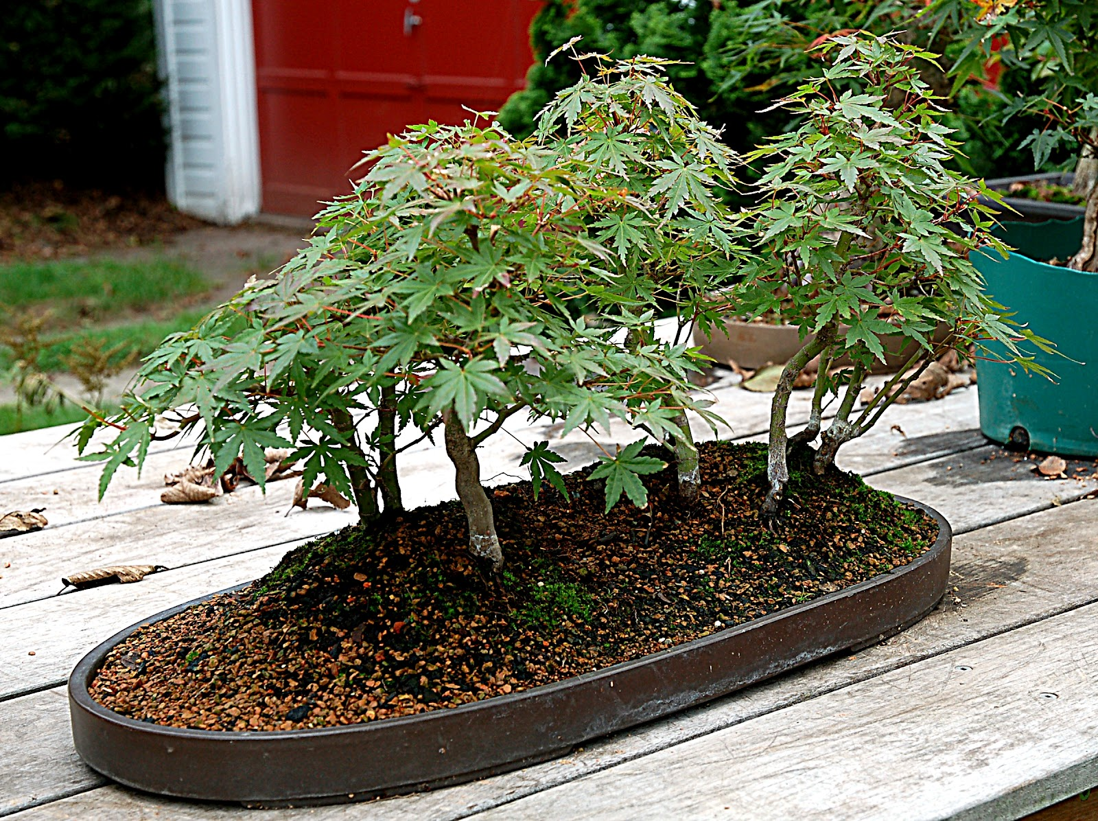 The Treeherd Naturalistic Bonsai Maple Forest Sometimes You