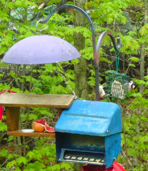 rose-breasted grosbeaks duel over suet photo