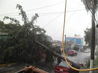 Cae árbol que Ayuntamiento de Naucalpan omitió cortar