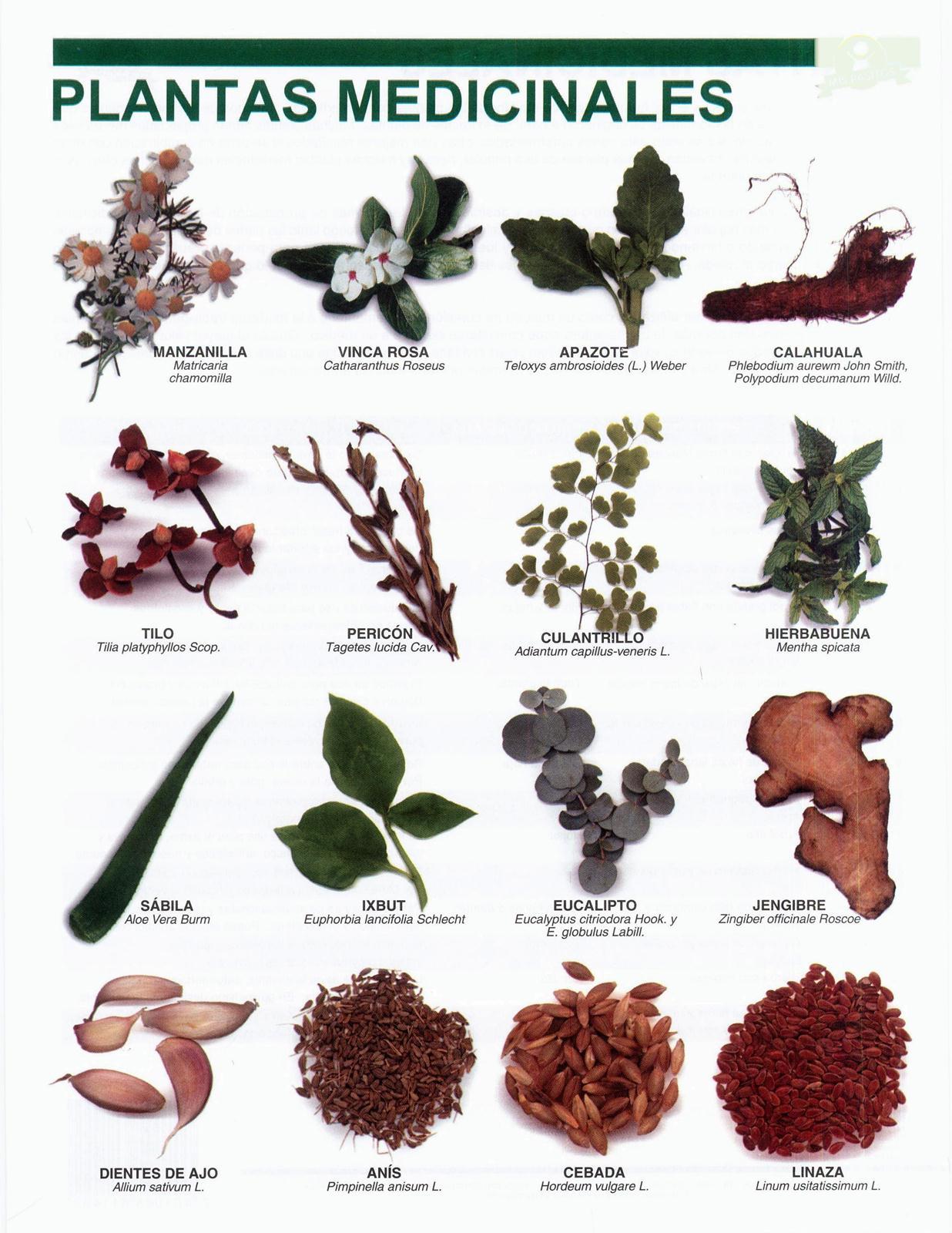 Laminas escolares lamina plantas medicinales for Plantas medicinales y ornamentales