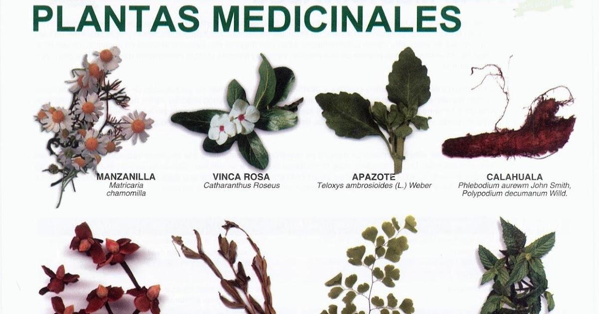 Lamina plantas medicinales for Plantas ornamentales del ecuador