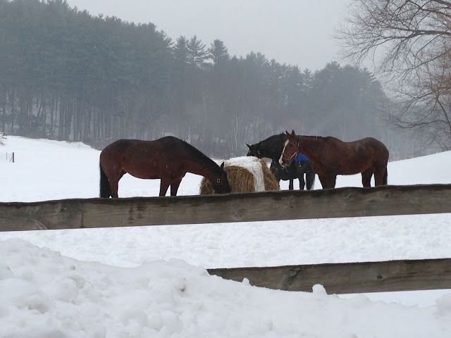 Horses grazing on hay