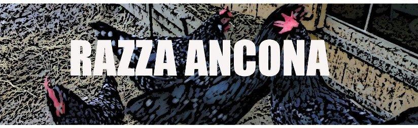 Allevamento amatoriale  polli Ancona