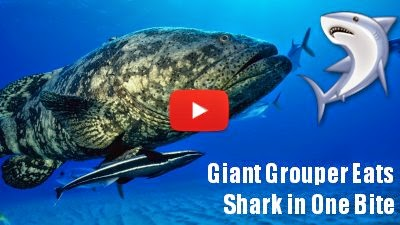 Watch this Giant Grouper fish eat a 4 feet shark in one bite as it steals it from the Angler via geniushowto.blogspot.com dog videos