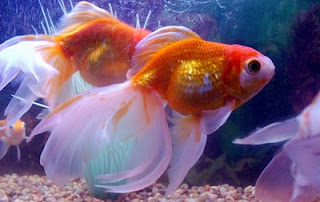Gold Fish Care on Care  Black Widow Fish Breeding  Gold Fish Care  Black Widow Fish Care