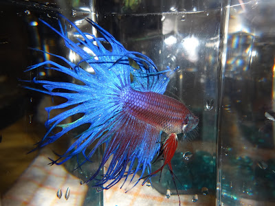 crowntail betta splenden