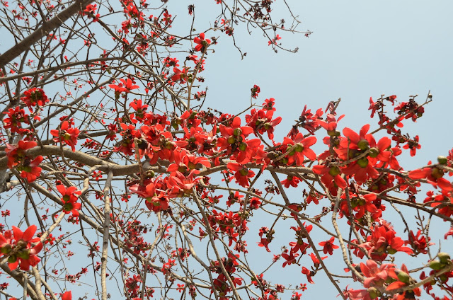 Bombax Ceiba in New Delhi India