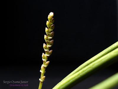 Botões florais da micro-orquídea Capanemia superflua