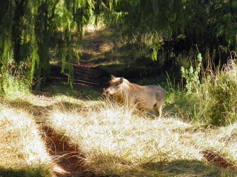 Warthog in the Bale Mountains