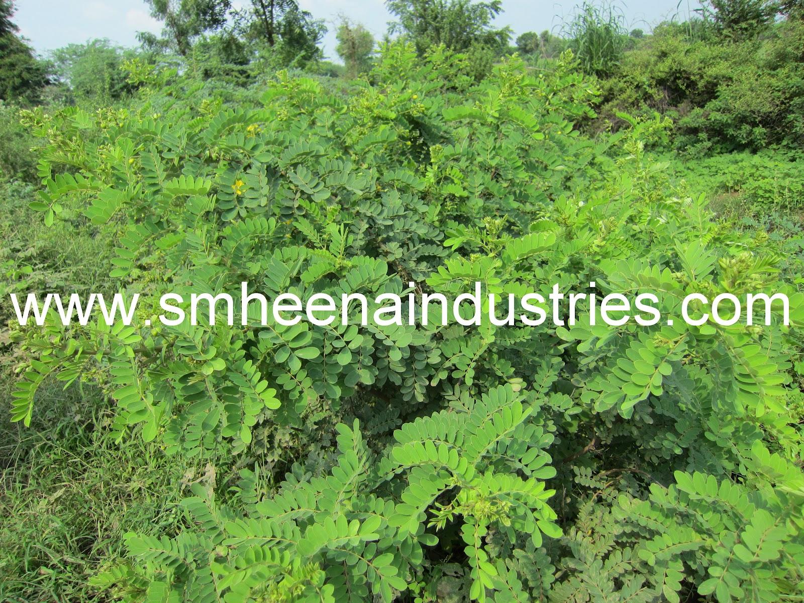 S M Heena Industries Cassia Obovata Fields In Sojat Region