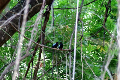 Long-tailed Manakin