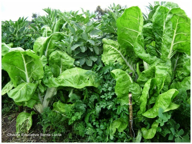 Cantero pronto para la cosecha - Chacra Educativa Santa Lucía