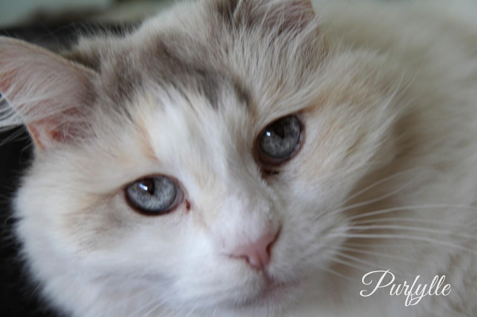 Sacha cat aka Fluffy the fluff monster