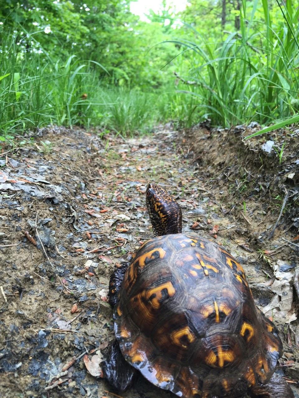 julie zickefoose on blogspot my new pet box turtle