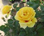 Yellow Hulthemia Hybrid