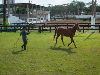 Cavalos passam por treinamento para não terem medo de humanos ou certas situações. (Foto: Maria Anffe/GcomMT)