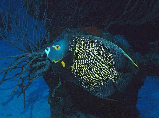 Marine life french angelfish