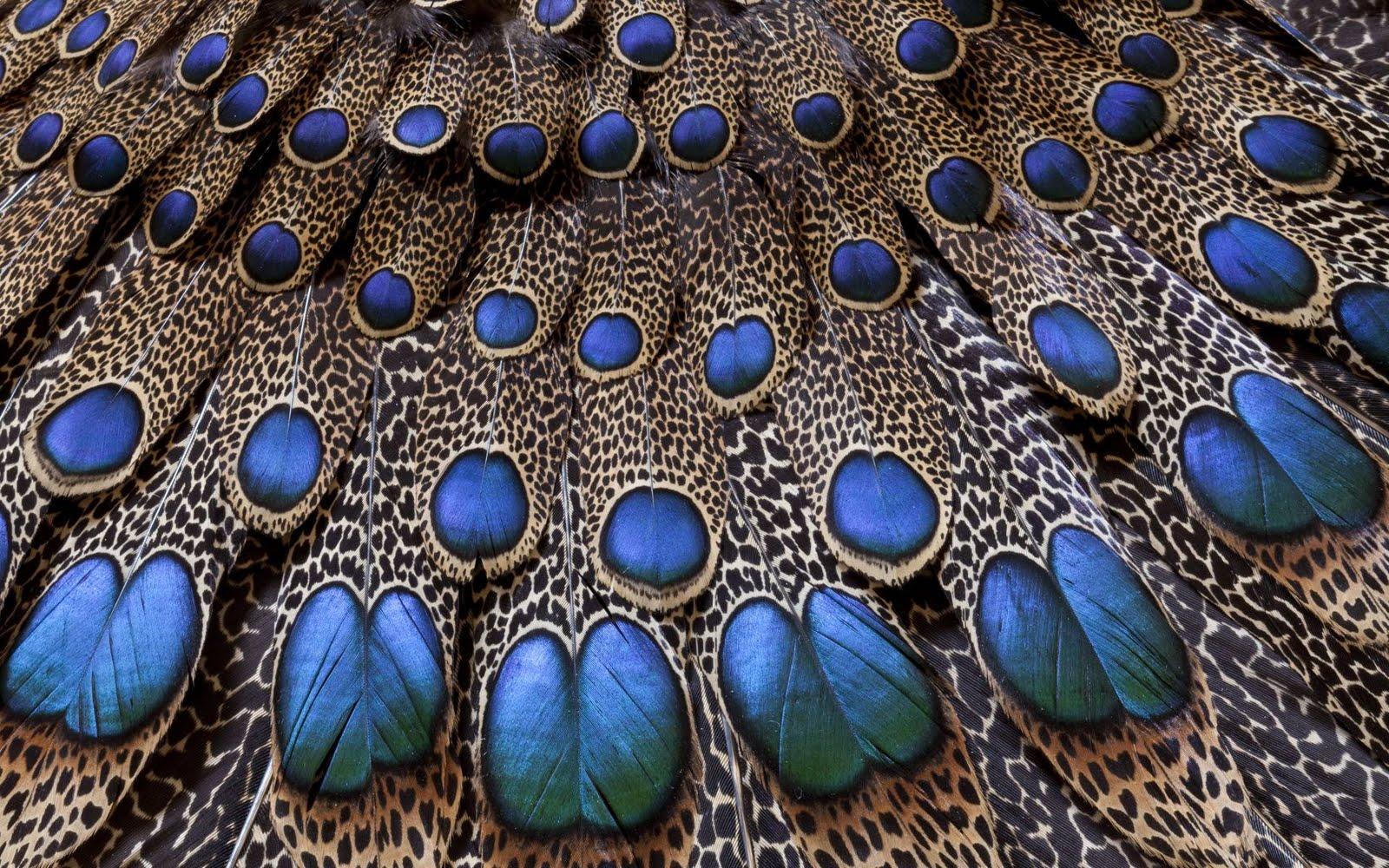 gambar burung merak @ Digaleri.com
