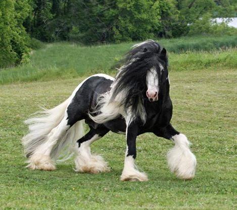 Descrição da imagem: Em um fundo de natureza, um pônei com pelos pretos e brancos ensaia passos no gramado. O corpo até a metade das patas é coberto por pelos pretos, o dorso e a cara brancos. Sobre a cabeça e parte de trás do pescoço, a crina é mesclada de preto e branco, com pelos muito longos que esvoaçam ao vento, assim como os pelos das patas que remetem a polainas brancas em harmonia com o denso rabo longo que toca a grama.