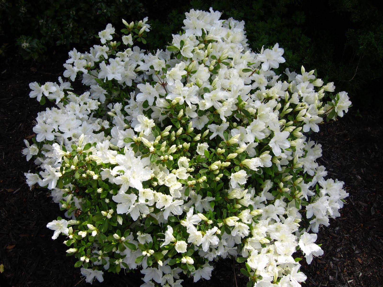 The photo collection azaleas for The azalea