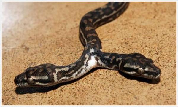 2 Headed Snakes