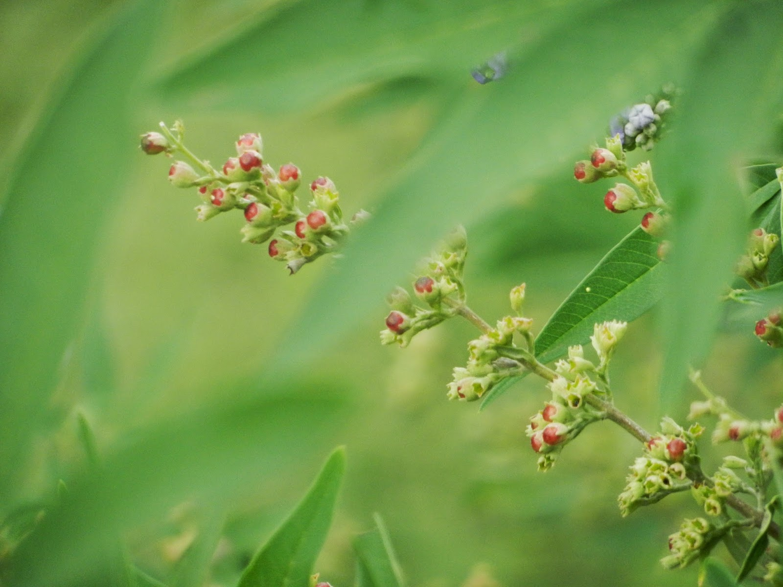 summer lilacs