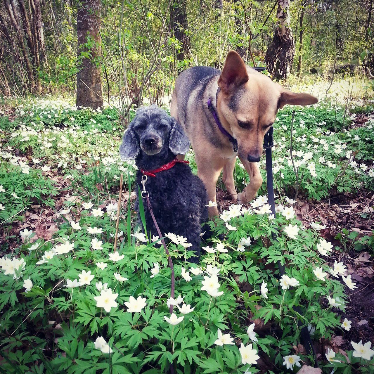 Tramshundar