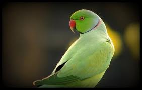 Indian Green Parrot http://bubbasmithspot.blogspot.com/2011/08/green-parrot-bird.html