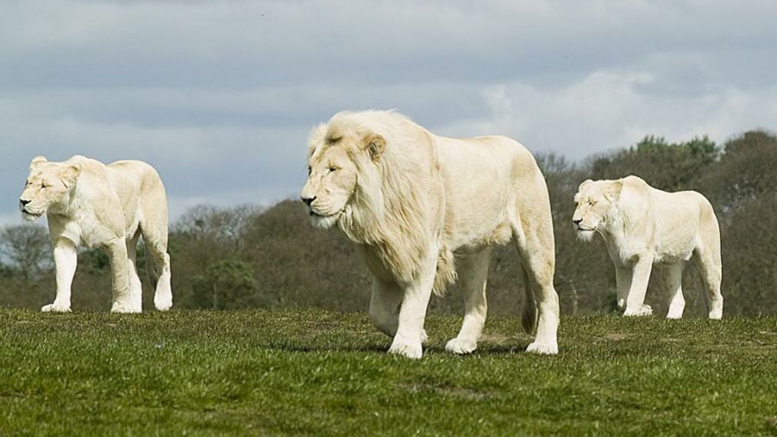Three white lions, lion and two lioness, #lion, white lion