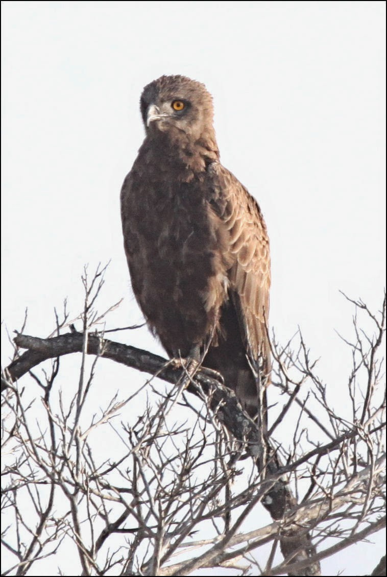 Águila Culebrera Cenicienta