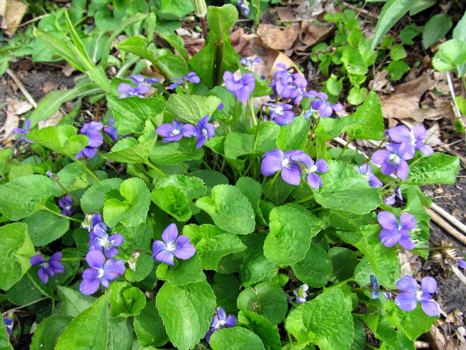 http://4.bp.blogspot.com/-Qive8owsorg/VUROn9YZwyI/AAAAAAAAZi4/As-atuwGyBE/s1600/violets.jpg