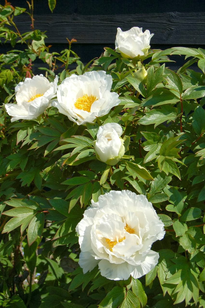 Tree Peonies, do they need pruning?