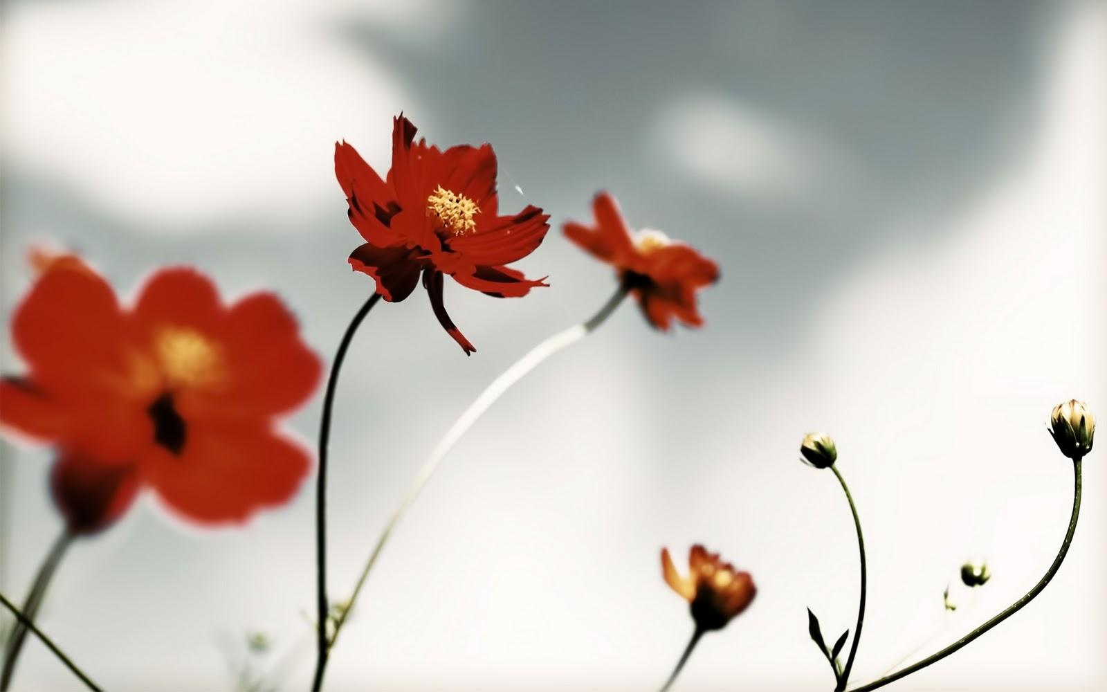 http://4.bp.blogspot.com/-QjAMXwugJDQ/TnXaCNjH5nI/AAAAAAAABIY/aVNVf-L22GA/s1600/red-flower-wallpaper.jpg