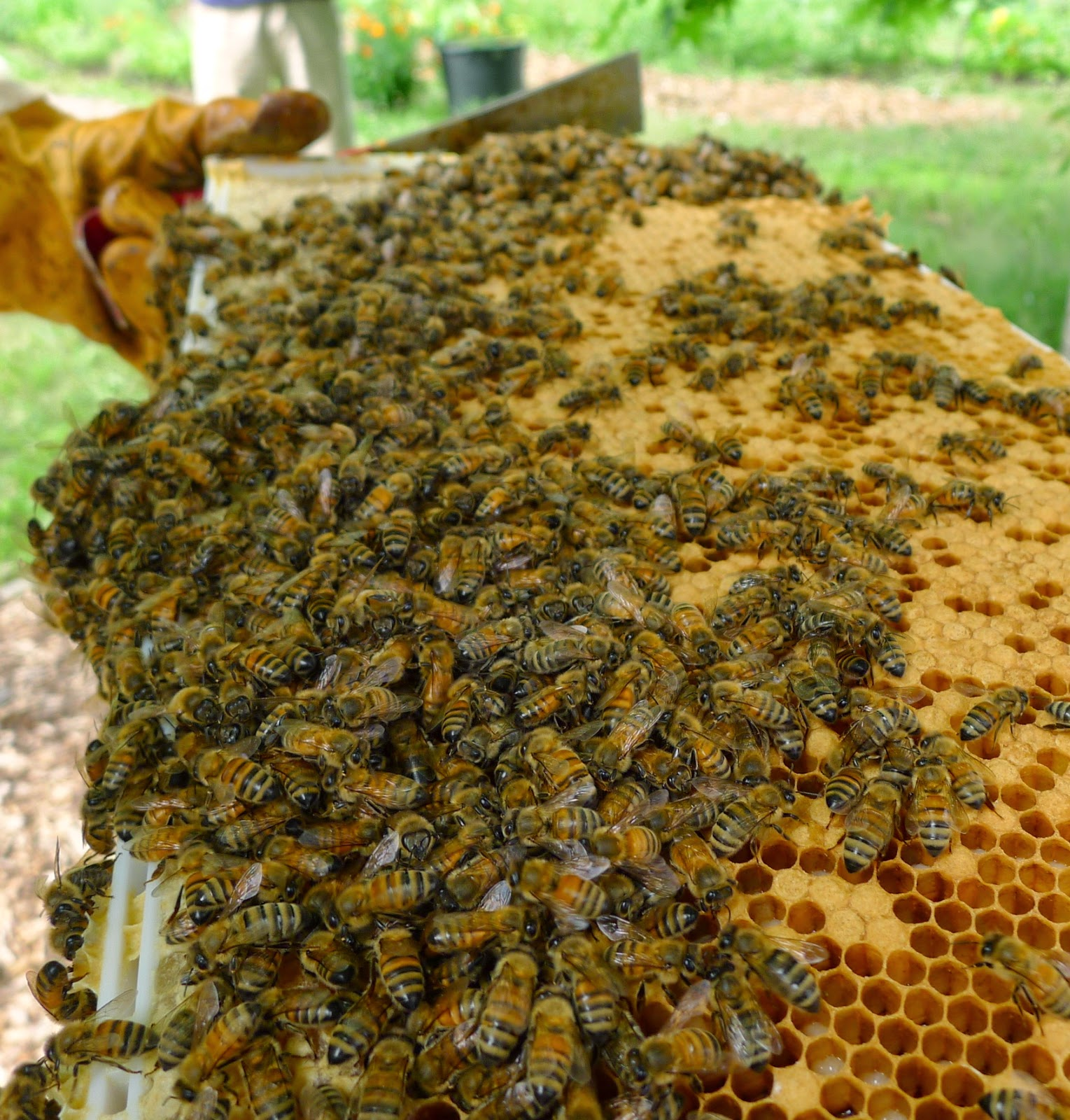 Hive frame with capped honey and brood, URI Master Gardeners, Edible Forest Garden