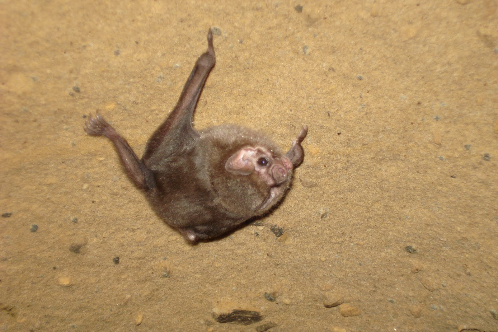 Bats are not bugs: The bats that vamp... VAMPIRES