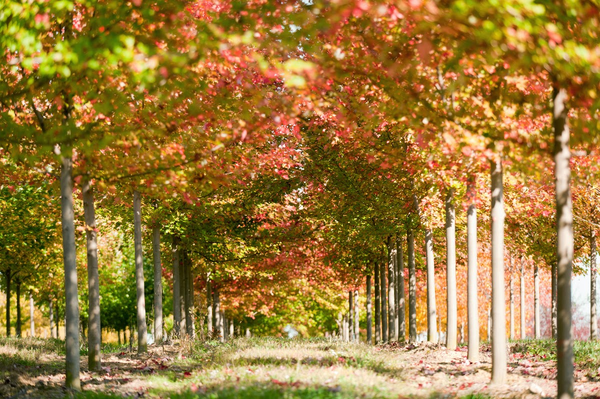 The garden plot 10 best trees for brilliant fall color - Planting fruit trees in autumn ...