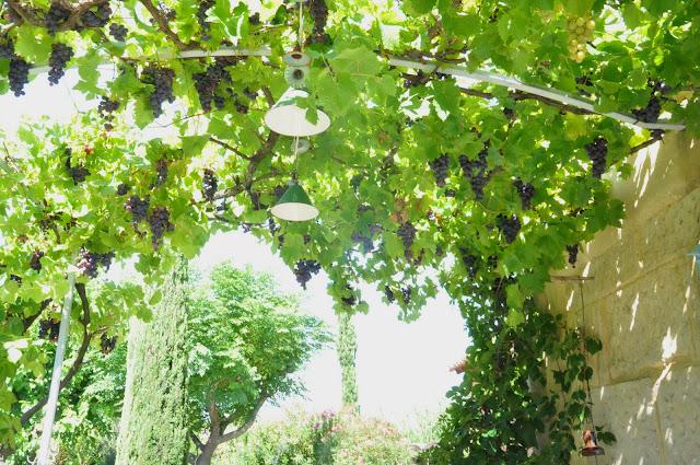 treille raisins