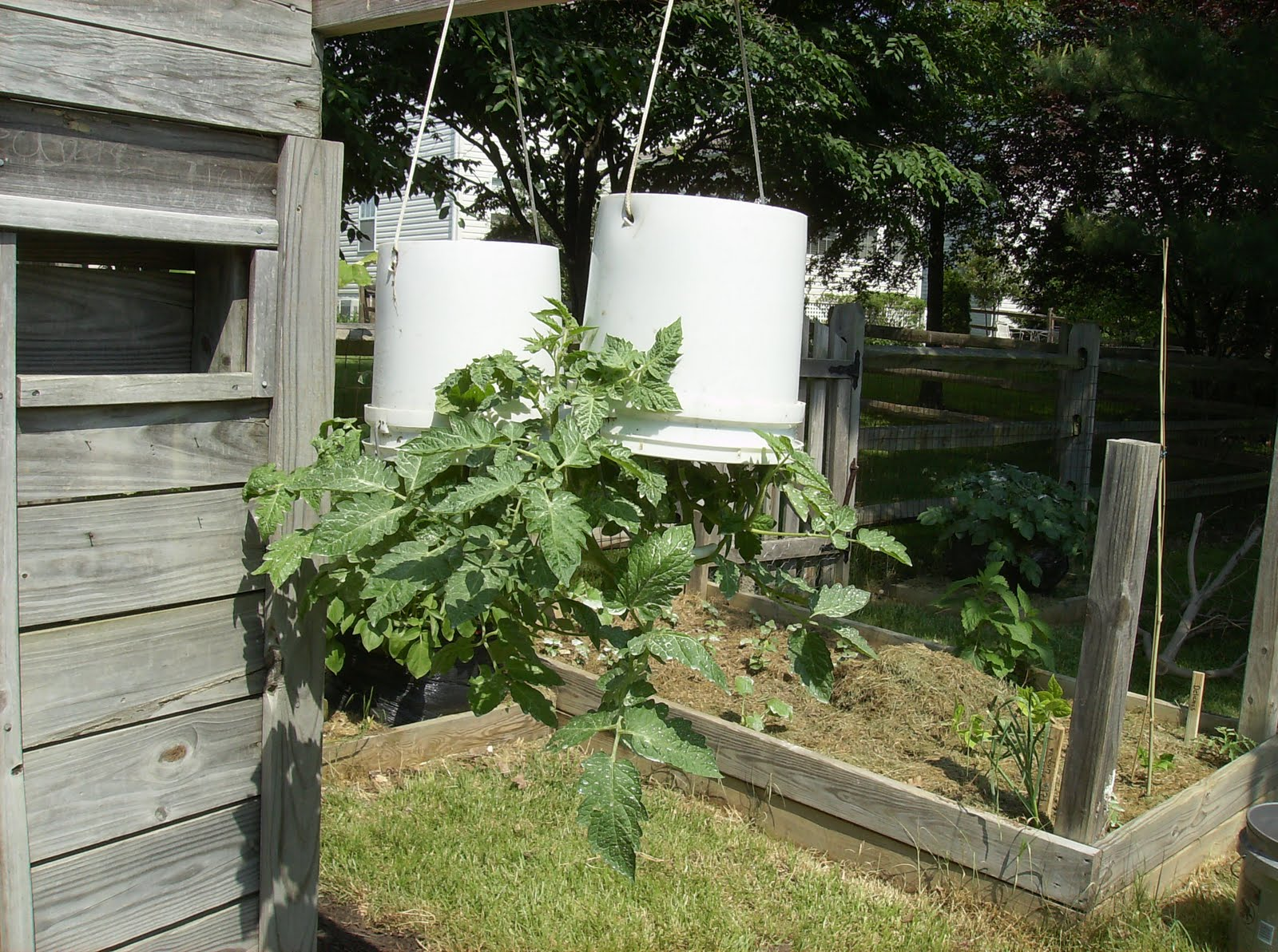 The rusted vegetable garden - Upside down gardening ...