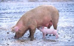 Várias formas de ajudar os inteligentes suinos / Several ways to help the smart pigs