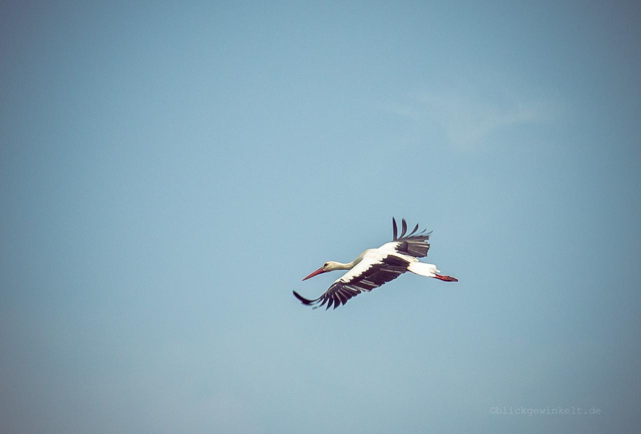 Fliegender Weißstorch