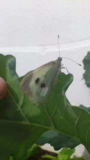 Mariposa de la col haciendo su puesta