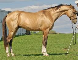 Characteristics  Akhal-Teke Horses  Breeds