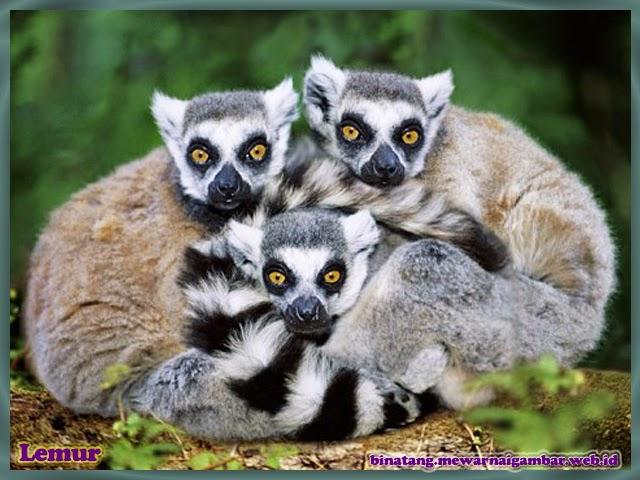 gambar lemur