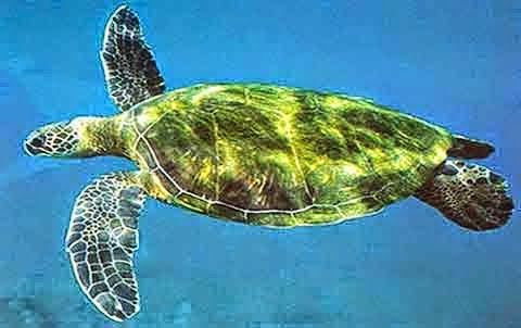 The green sea turtle is one of the most common species of pawikan in Sorsogon.