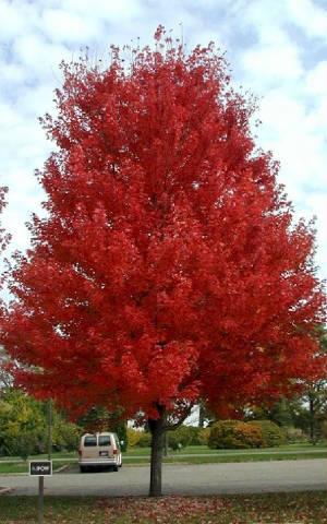 Autumn Blaze Maple Tree1
