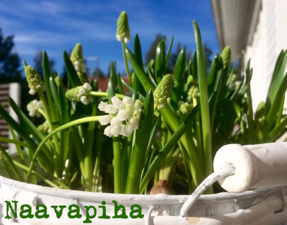 Naavapiha